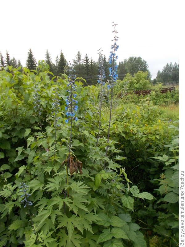 Эти цветы цветут как голубым так и синим цветом.