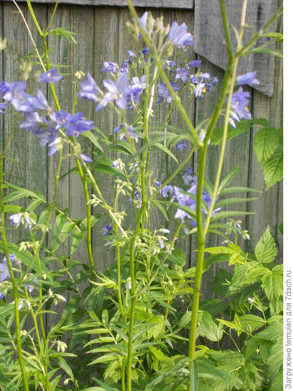 Цветы похожи на колокольчики, но высокие, около 1,5 метра.