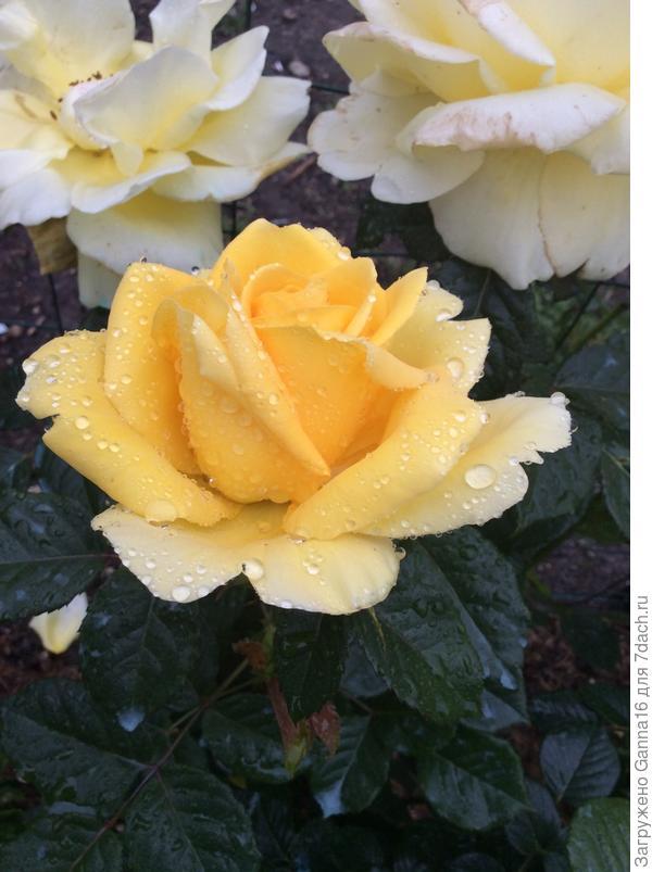 Жёлтая красавица