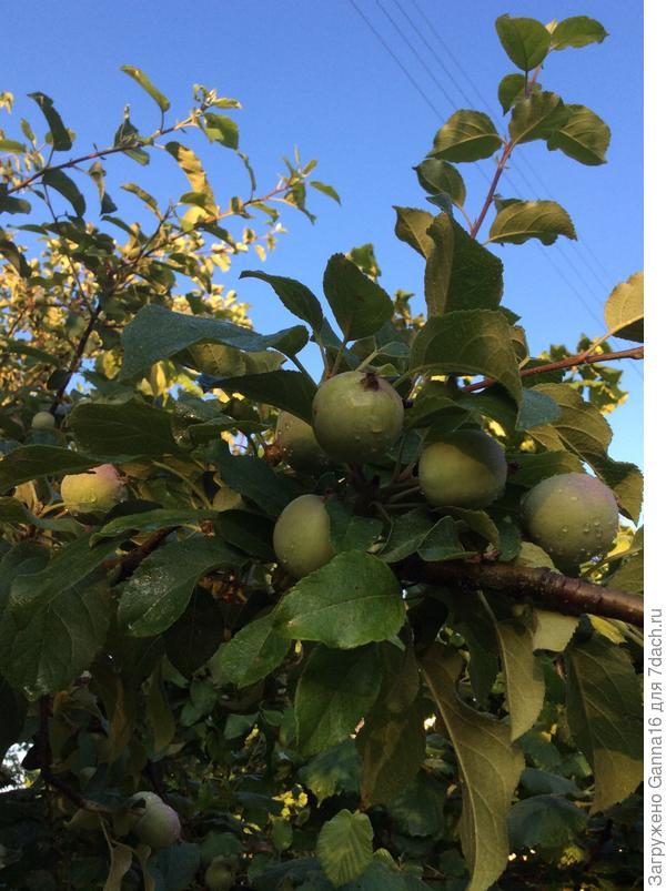 И яблоки