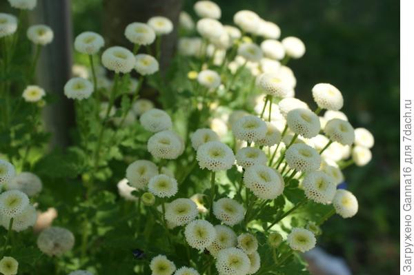 Хризантема девичья. Моя красавица