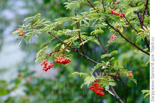 Рябина под дождём