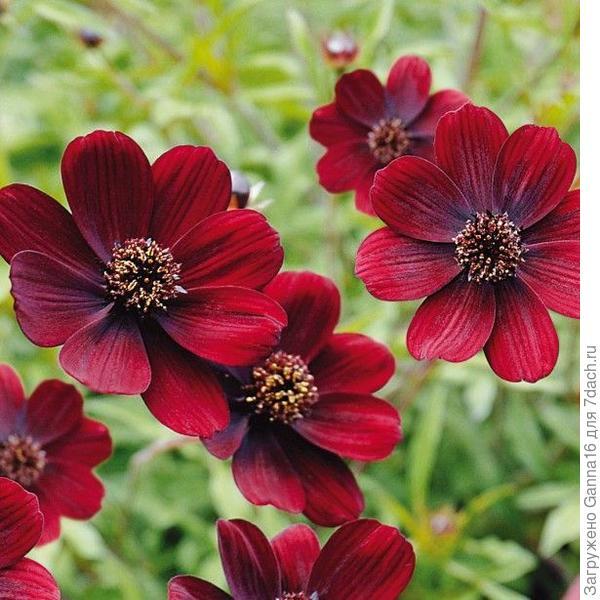 https://www.promessedefleurs.com/annuelles/fleurs-annuelles-en-minimottes/annuelles-par-varietes/cosmos/cosmos-chocamocha.html