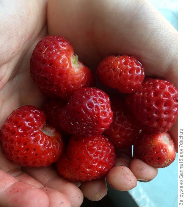 """У этой ягоды мелкие, но самые ароматные какие я только пробовала в жизни. Сорт """" Фрау ......"""" непроизносимая фамилия."""