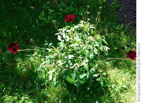 Цветы после дождя немного полегли, но выпрямляются быстро