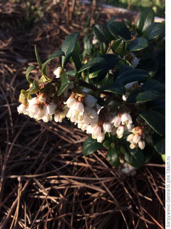 Брусника цветёт