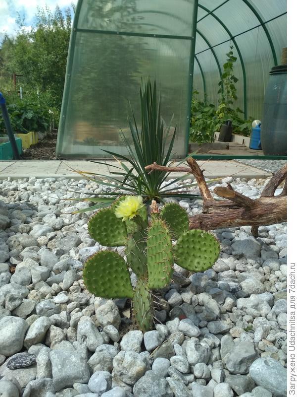 Opuntia phaeacantha var.camanchica (светлая форма)