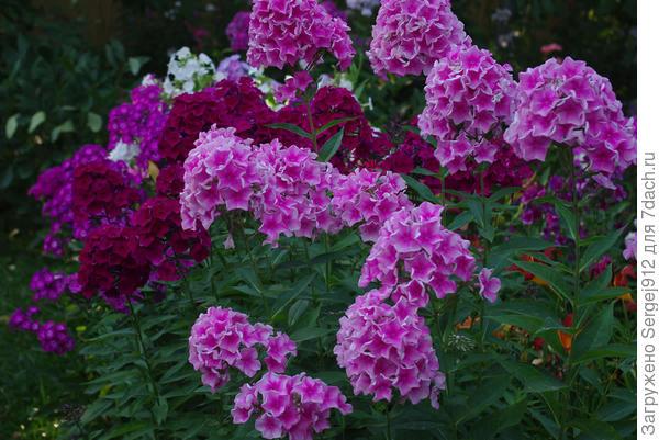 """флоксы в питомнике """"Наши-цветы"""""""