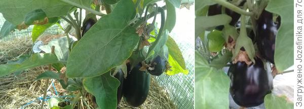 Прививка баклажана на томат. Подведём урожайные итоги первого сезона!