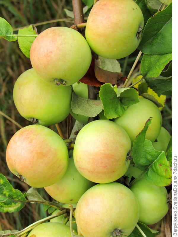 дикие яблочки