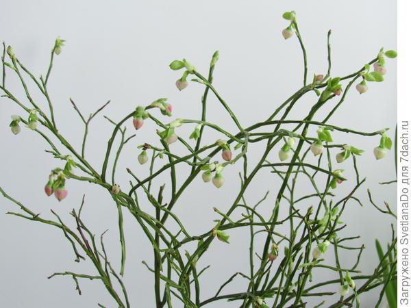 черника цветет