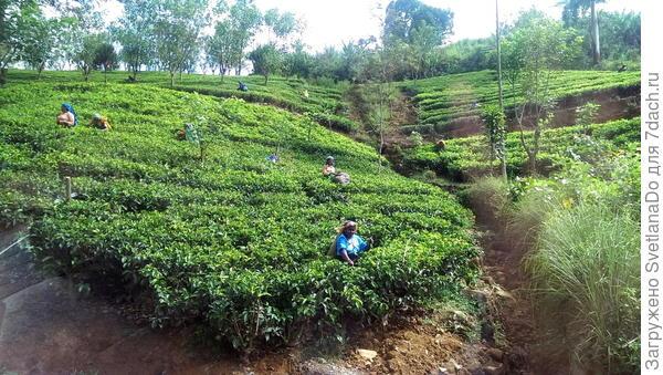 Шри-Ланка.Чайные плантации