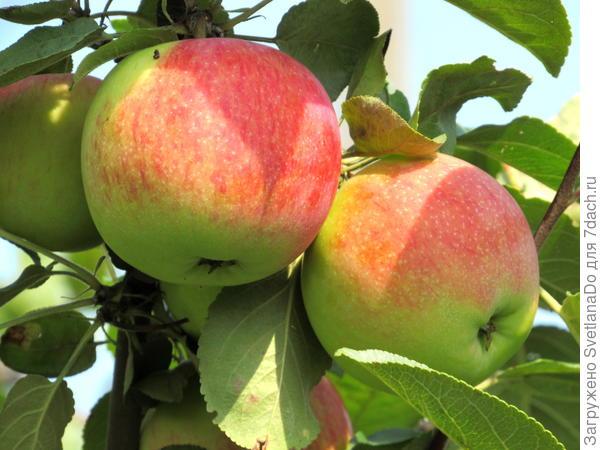 яблочки Мелба