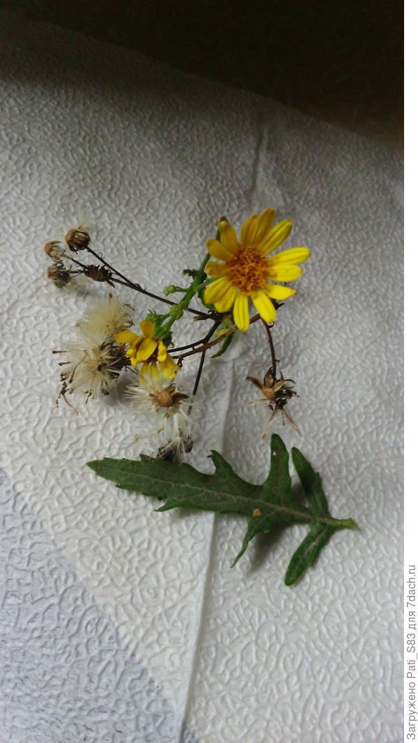 Всем доброго времени суток. Подскажите пожалуйста, что это растение? Растет в огороде с сорняками...