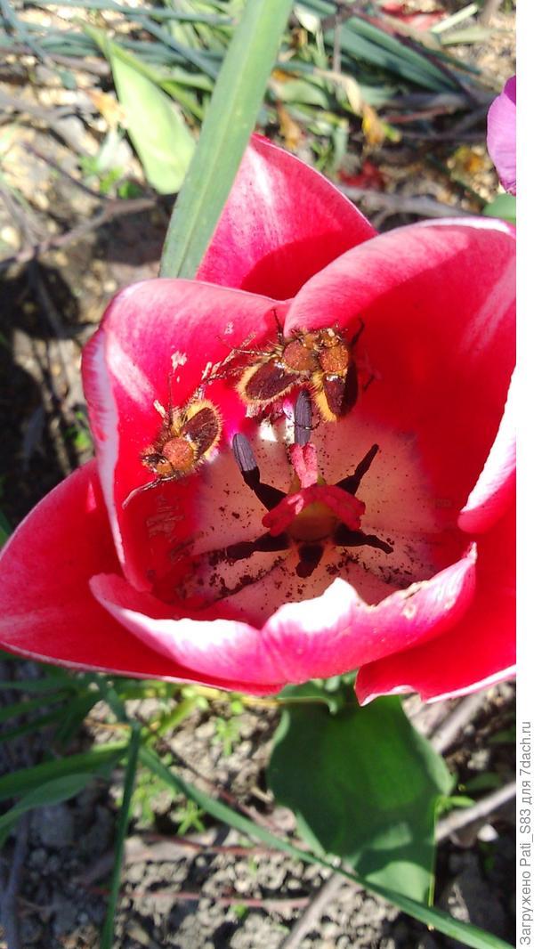 Доброго дня, всем семидачникам. Подскажите пожалуйста, что эта за живность на моих тюльпанах поселилась и может ли она нанести им вред?
