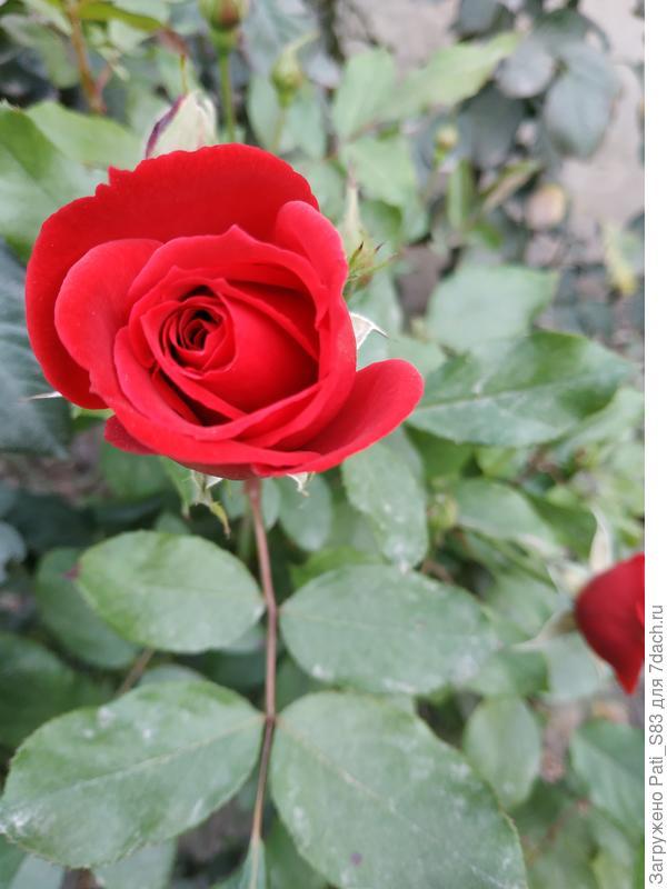 Доброго времени суток, всем семидачникам ♥️ Хочу обрезать розы ,но они ещё цветут . минусовой температуры у нас пока не было. Подскажите пожалуйста,можно ли их обрезать ,когда они цветут и можно ли сейчас (сегодня 8 ноября), или позже обрезать ❓