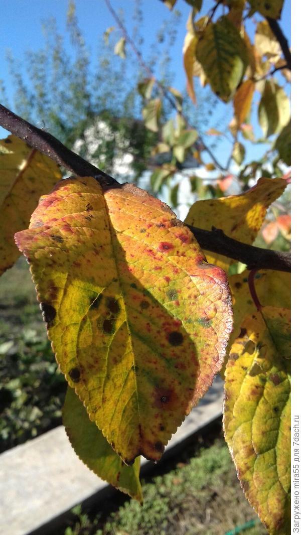 лист  сливы  Зареченская
