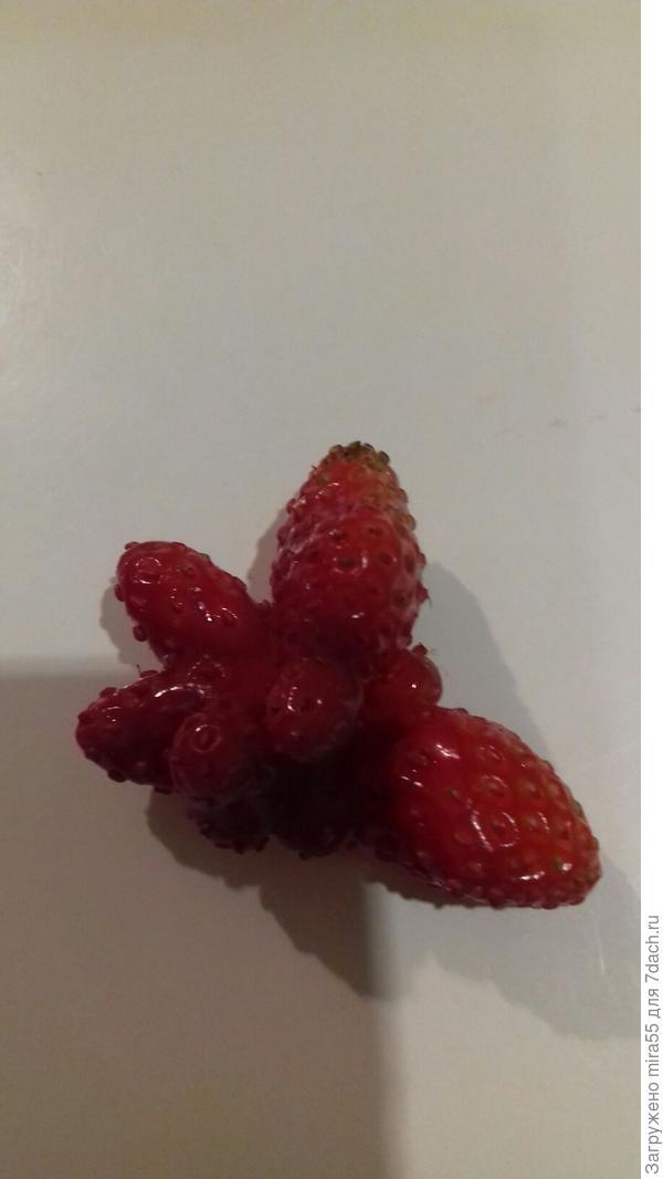 садовая  клубника