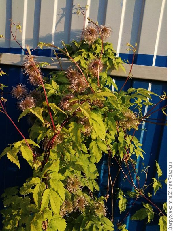 лианообразное растение