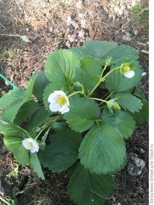 Земляника садовая 'Зефир': выращивание из семян