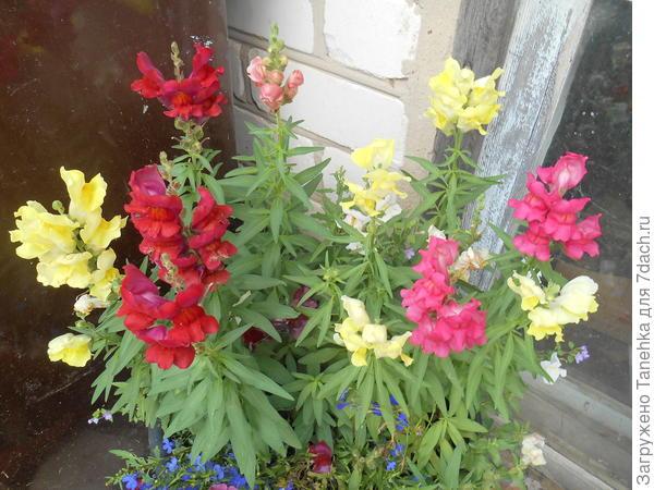 Цветет все лето, неприхотливый)))