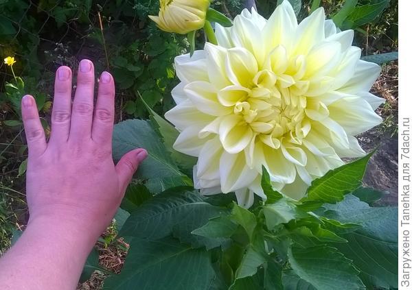 Высотой не больше метра и огромные цветы!