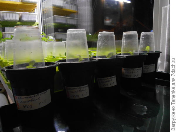 Затем петунии вернулись обратно на восточное окно, каждую накрыла прозрачным колпачком из пластикового стаканчика, чтобы обеспечить тепличный эффект.