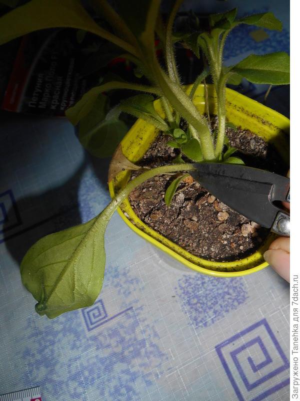 Также время от времени удаляла часть листьев (вялые, сломанные, сухие)