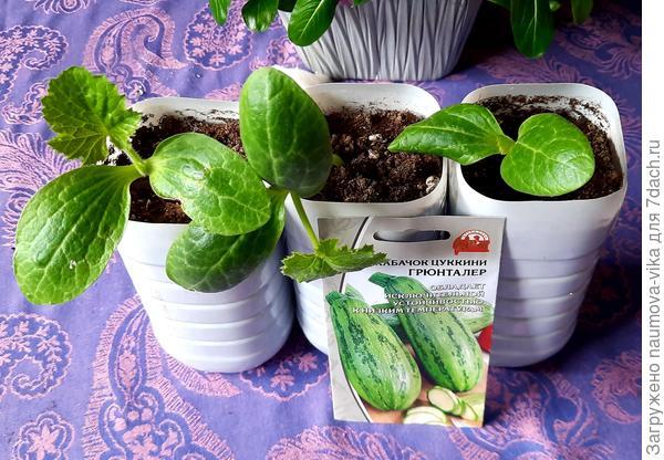 Кабачок цуккини 'Грюнталер' - маленькая итальянская тыковка. Выращивание рассады