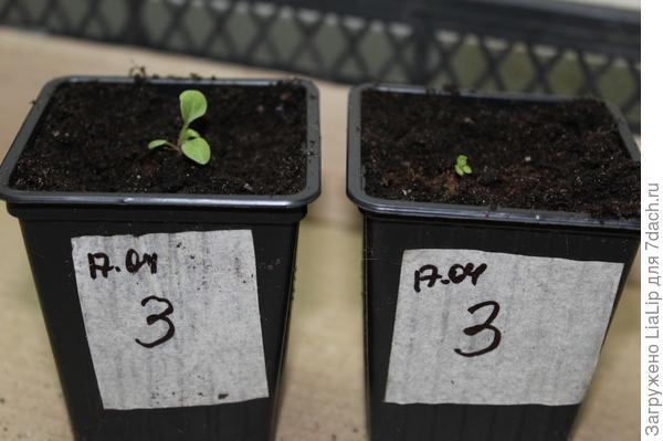 Петуния Марко Поло F1 голубая. IV этап. Развитие растений и уход за ними