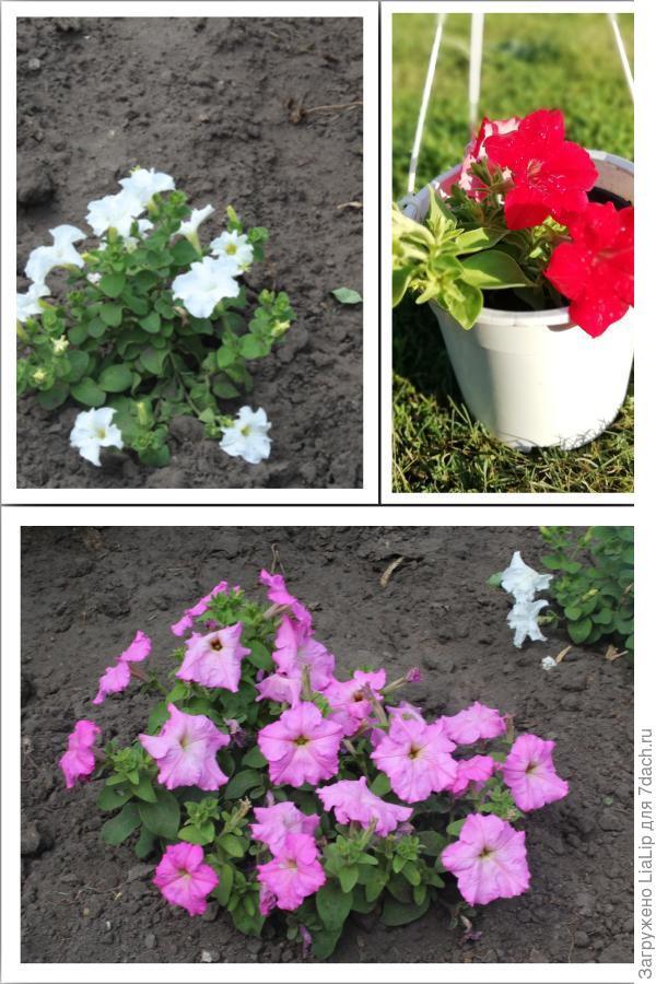 Комплиментунии цветут