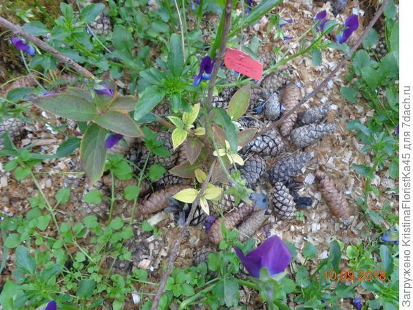 """Гортензии и рододендроны мульчирую шишками... Всё то же самое подходит и для огорода. Со временем сорняки """"уходят"""" с участка."""