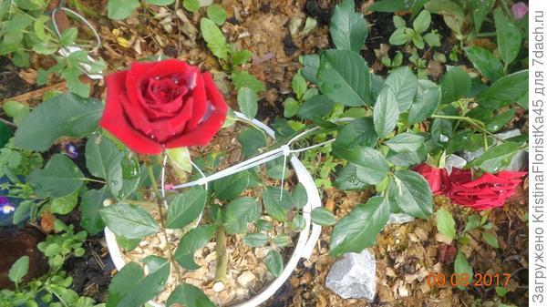 Кто занимается разведением роз, знает, как проблематично пропалывать между колючими кустами,- тут в помощь также идут опилки!