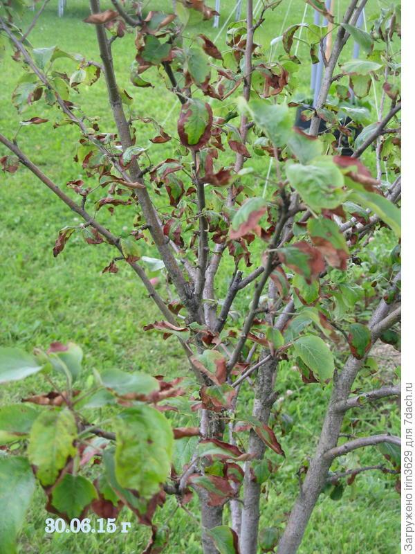 Листья поражены по всему дереву. Это 2015 год.