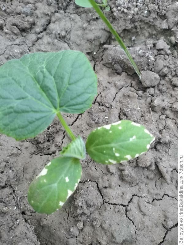 На семядольный листьях огурца появляются пятна, которые потом становятся дырками или увеличиваются. Огурцы остановились в росте. Это вредители или заболевание? Что делать?