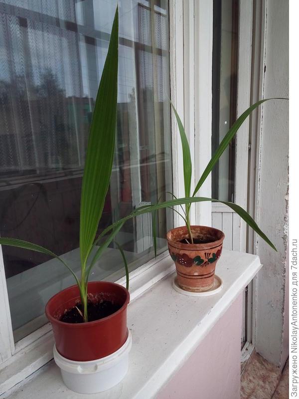 Маленькие пальмы