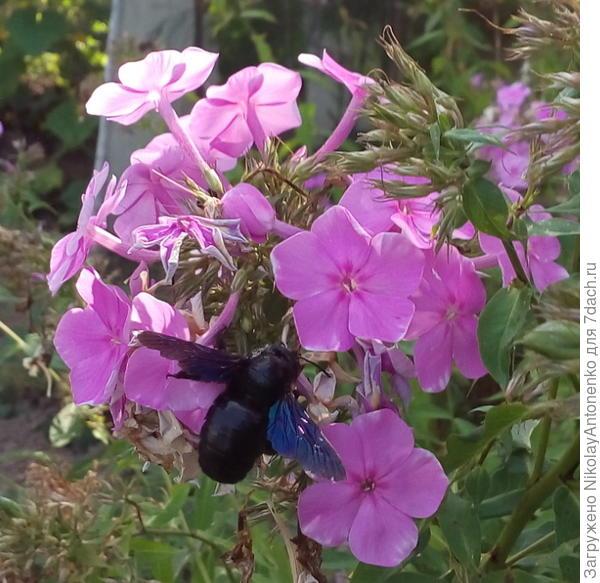 незнакомое насекомое и флоксы