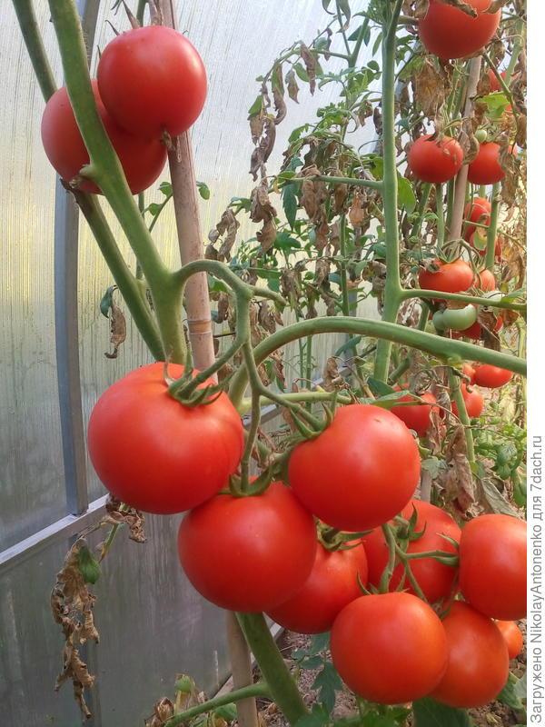 Безымянный сорт помидоров, потому что плоды не соответствуют ни одному изображению на пакетиках с семенами