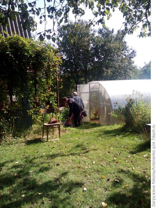 мои родители собирают в теплице помидоры