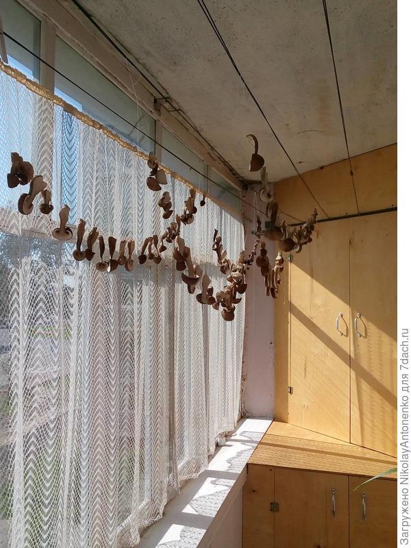грибы дома на балконе, сушатся