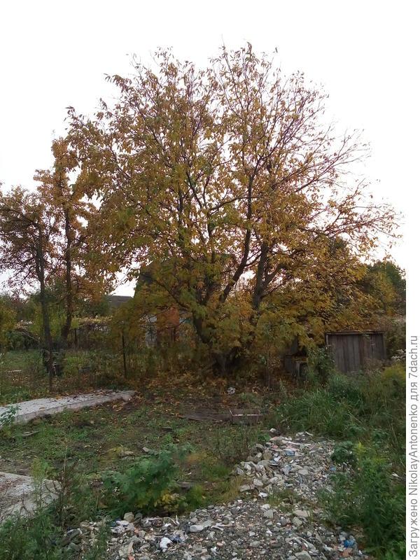 Взрослое дерево Грецкого Ореха на заброшенном дачном участке. А, в этом коллективе принимать участие в гастролях я не стал бы ни при каких обстоятельствах.