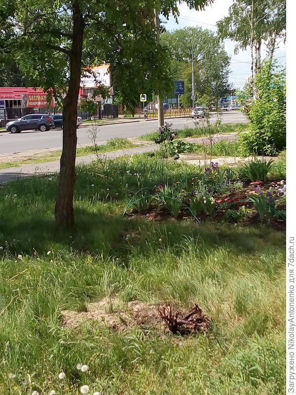 корень можжевельника, акация, клумба, газон, пешеходная дорожка, проезжая часть дороги