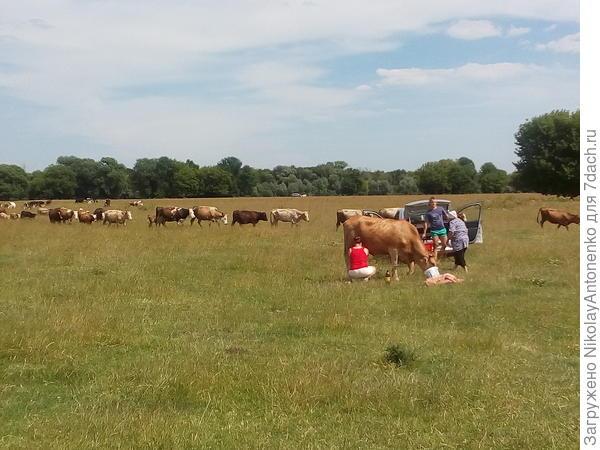 дойка коровы