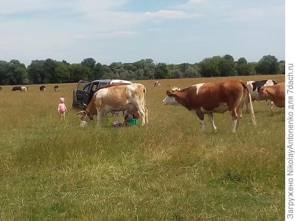 полдень, дойка коров