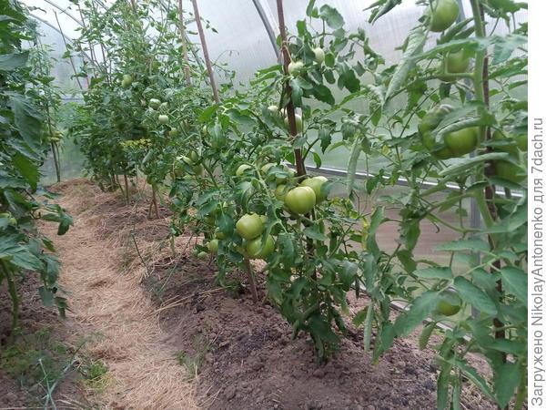"""Обильные плоды помидоров сорта """"Полбиг"""""""