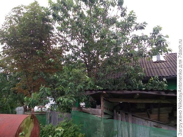соседский участок, каштан и черешня