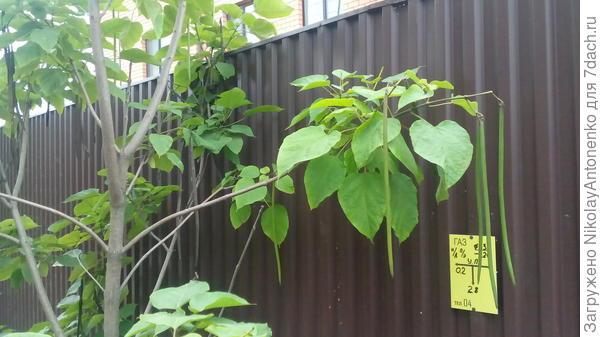 дерево с длинными стручками