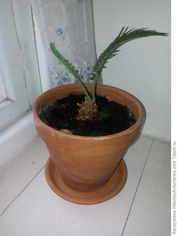 В октябре растение выпустило ещё один побег. Вайя развивалась достаточно долго, в течении 3-х недель.