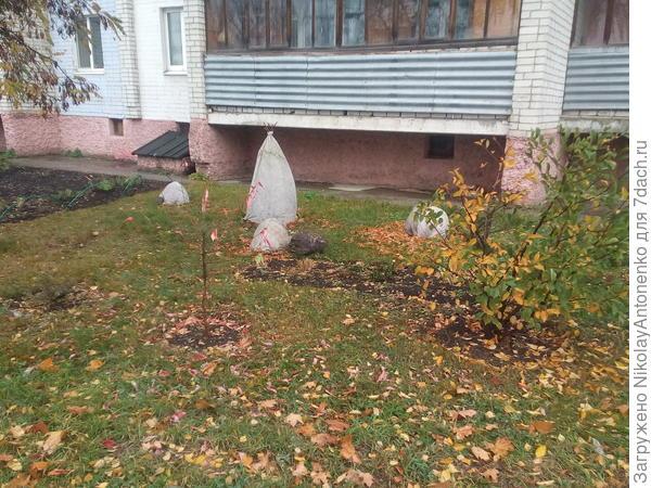 На зиму укрыл насаждения листьями и агротексом, на всякий случай.