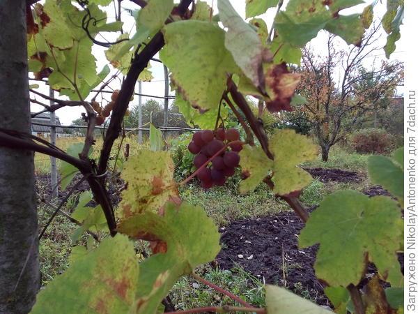 Виноград столового сорта